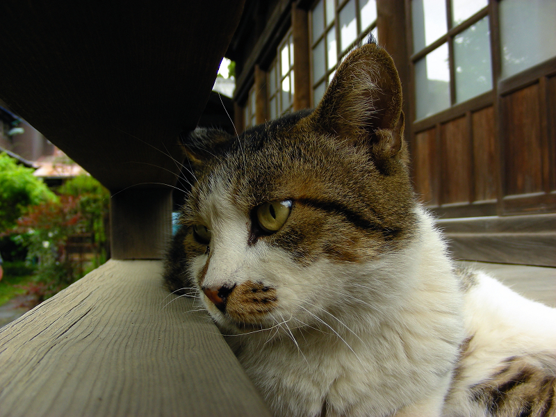 濡れ縁で睨むキジ白猫3