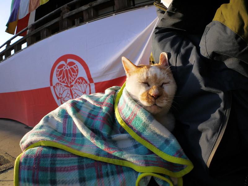 ブランケットに包まって寝る白茶猫1
