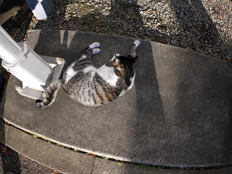 足もとのキジ白猫1