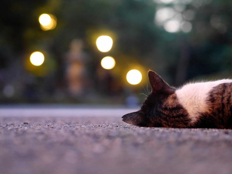 外灯の灯りとキジ白猫1