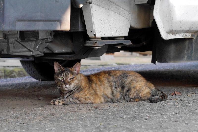 大型車の下のサビ猫1