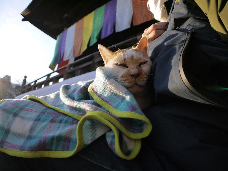 ブランケットに包まって寝る白茶猫2