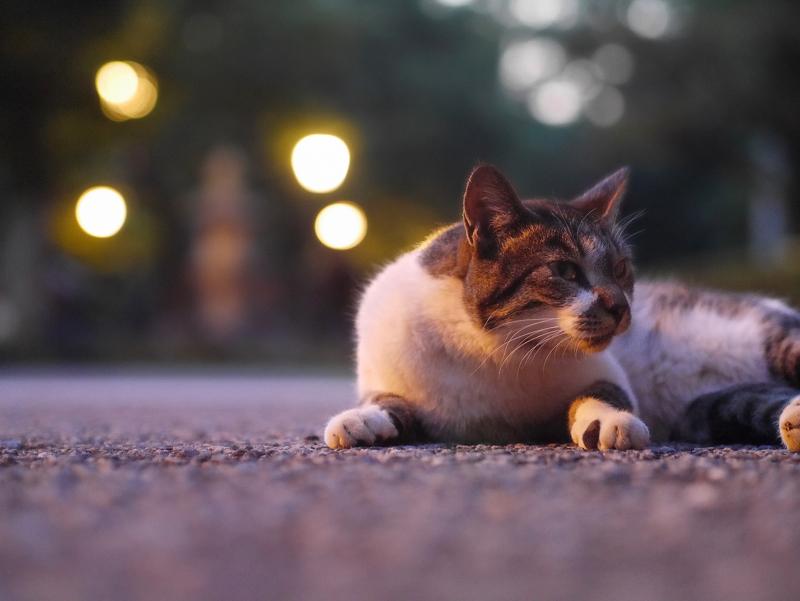 外灯の灯りとキジ白猫2