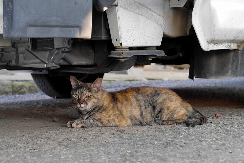 大型車の下のサビ猫2