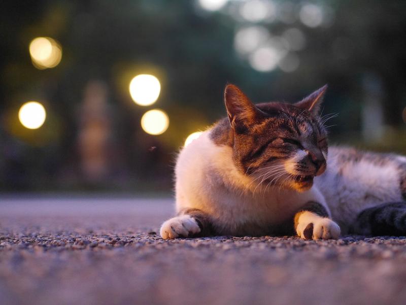 外灯の灯りとキジ白猫3