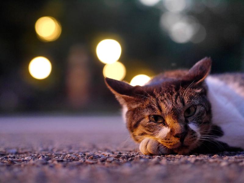外灯の灯りとキジ白猫4