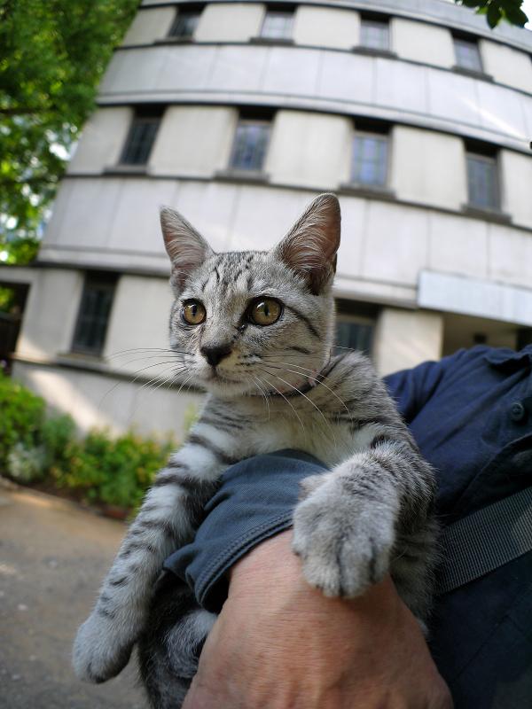 胸に抱かれたサバトラ仔猫1