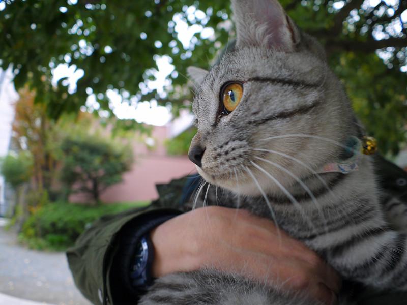 抱き上げられたサバトラ猫1
