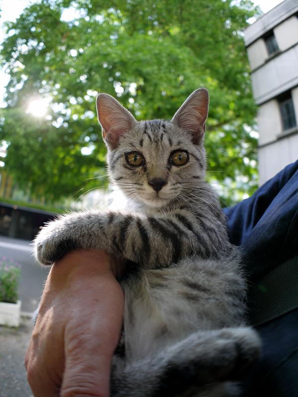 胸に抱かれたサバトラ仔猫2
