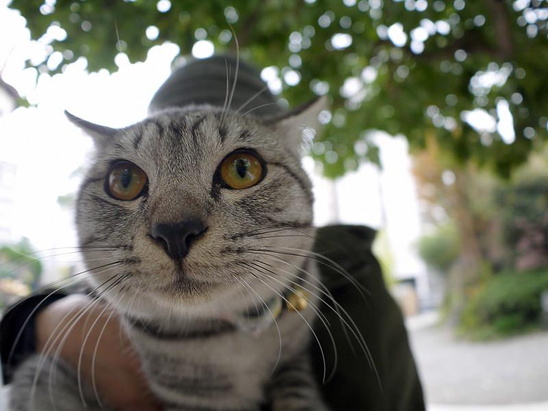 抱き上げられたサバトラ猫2
