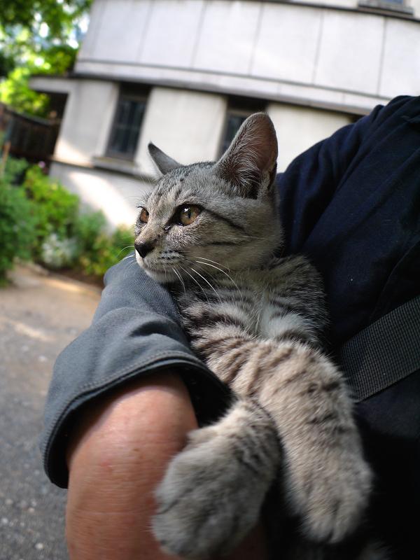 胸に抱かれたサバトラ仔猫3