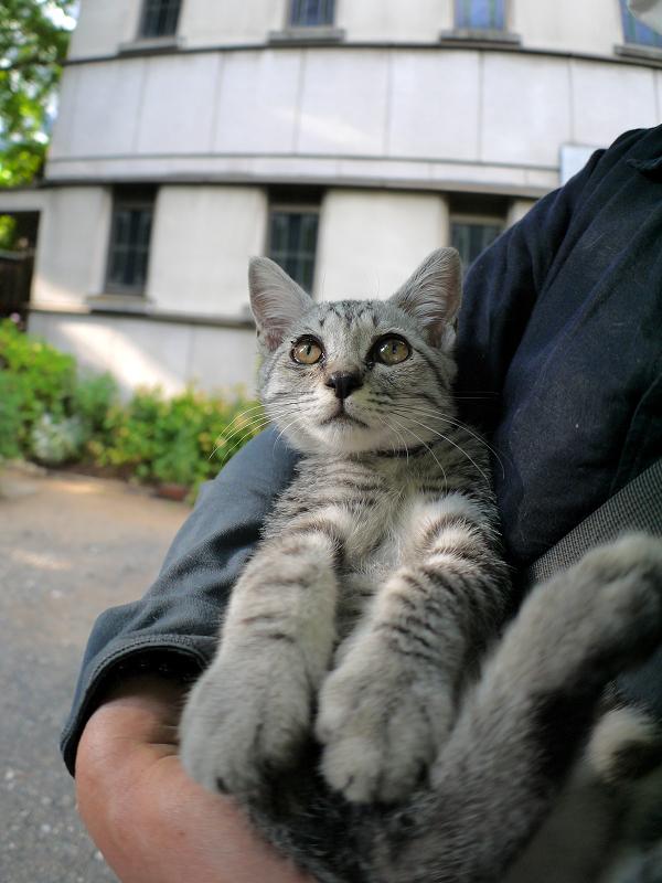 胸に抱かれたサバトラ仔猫4