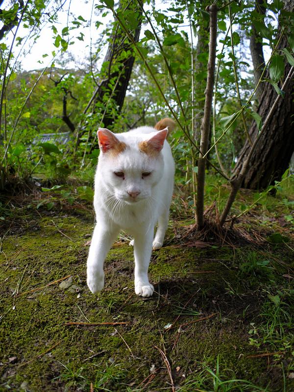 茂みの大柄白茶猫1