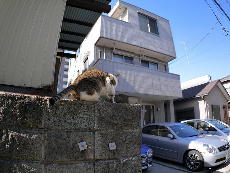 ブロック塀を駆けるキジ白猫1