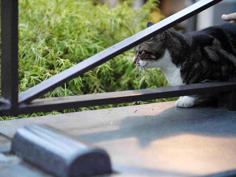 公園斜め柵のアメーショー風猫1