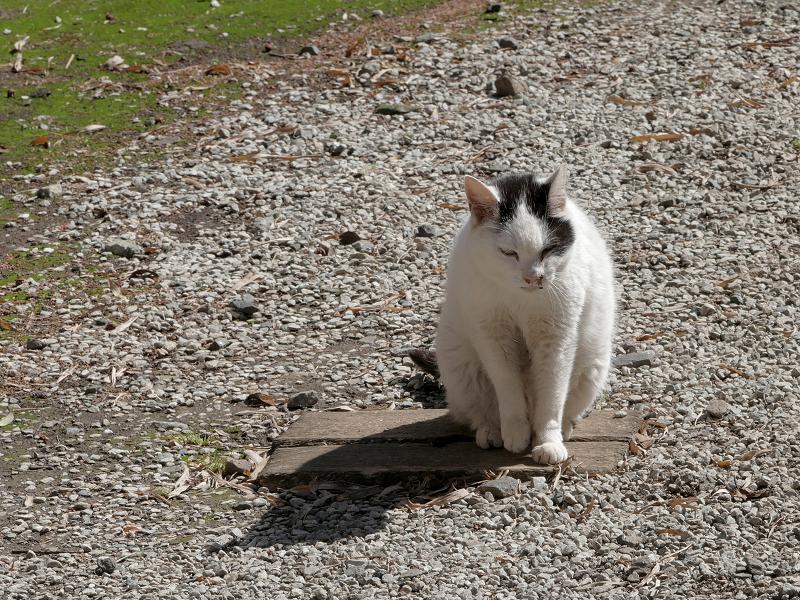 日向境内の白黒猫1