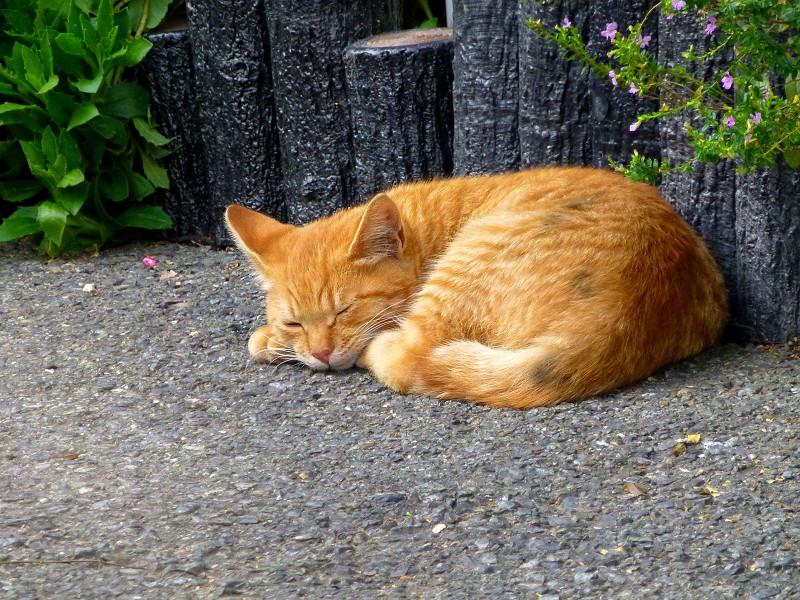 駐車場で寝ている茶トラ猫1