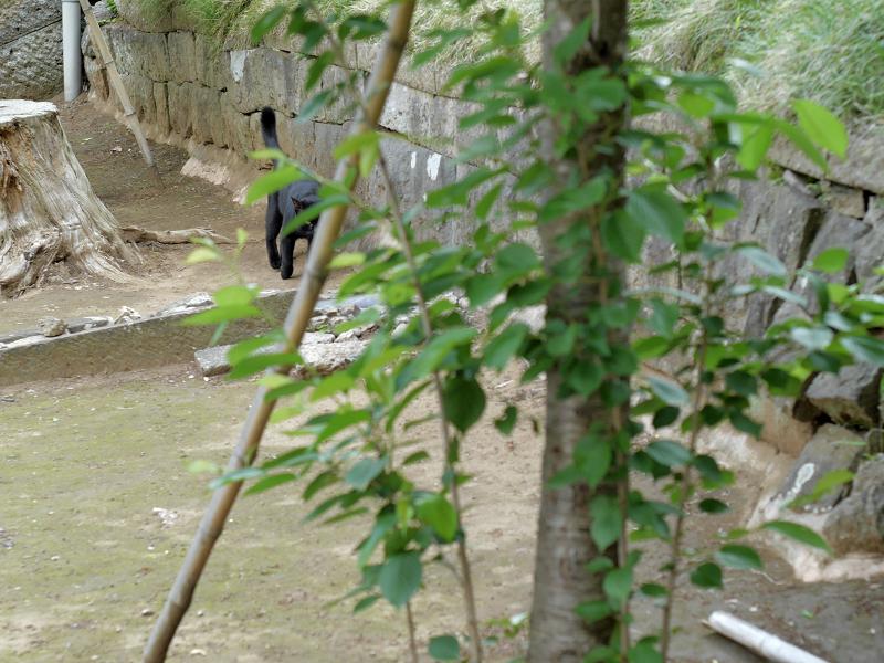 ズンズンと歩く黒猫1