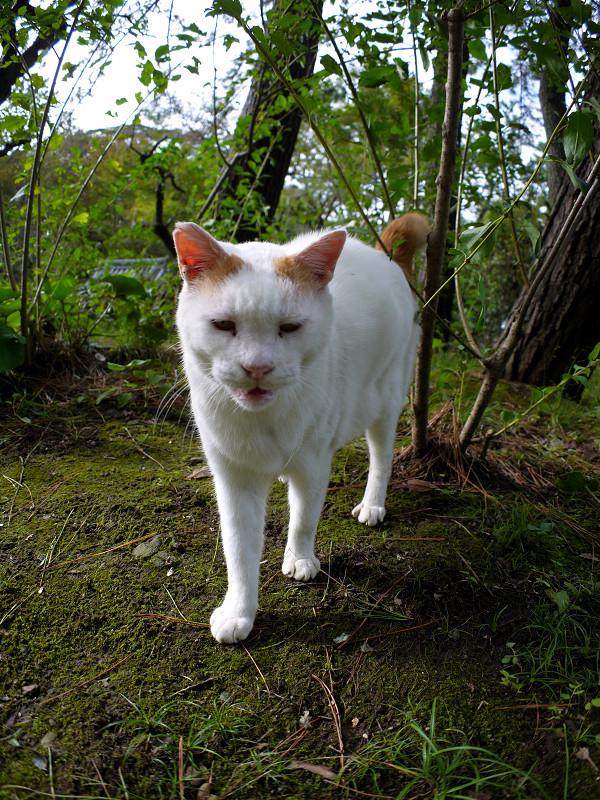 茂みの大柄白茶猫2