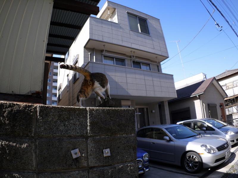 ブロック塀を駆けるキジ白猫2