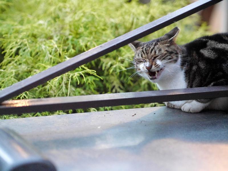 公園斜め柵のアメーショー風猫2