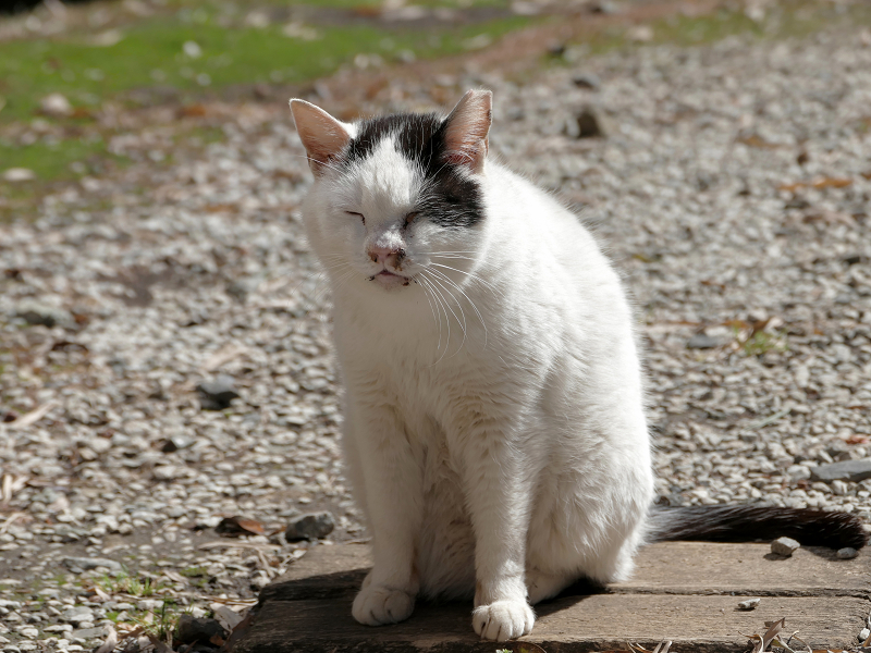 日向境内の白黒猫2