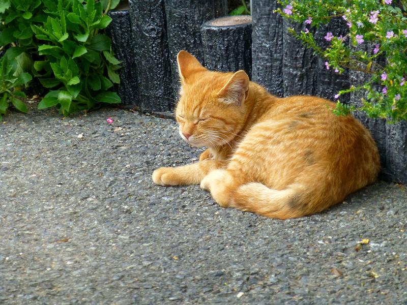 駐車場で寝ている茶トラ猫2