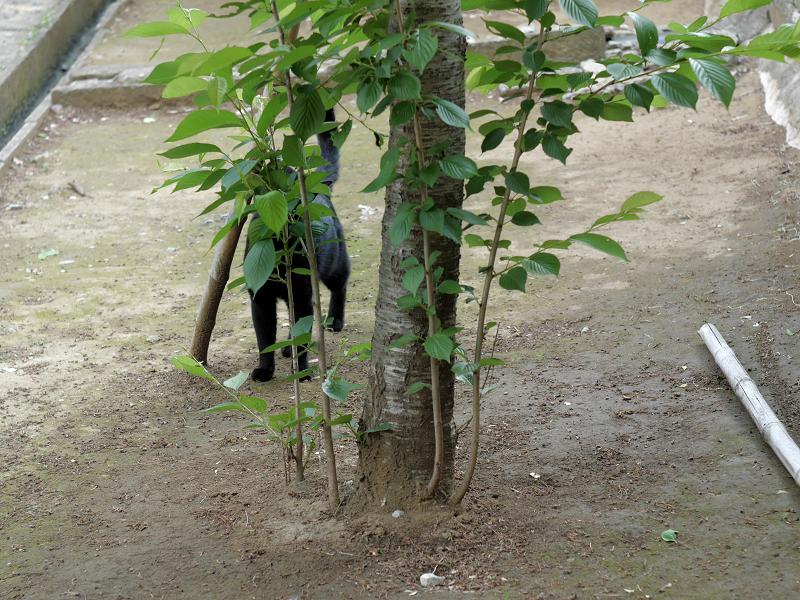 ズンズンと歩く黒猫2