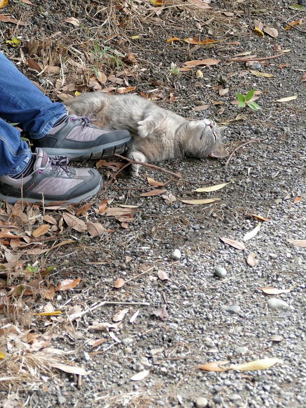 スニーカーに興奮するサビキジ猫3
