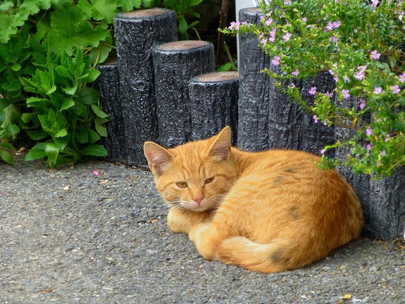 駐車場で寝ている茶トラ猫3
