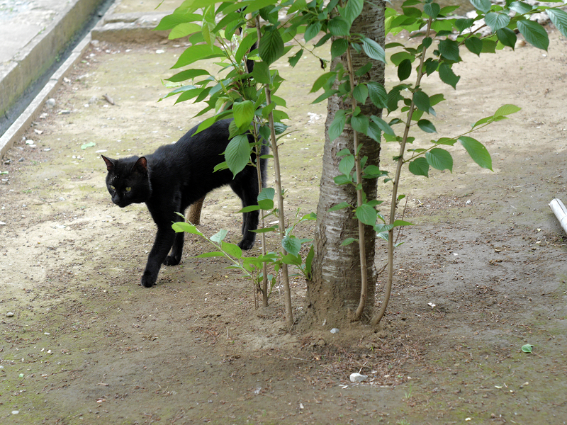 ズンズンと歩く黒猫3