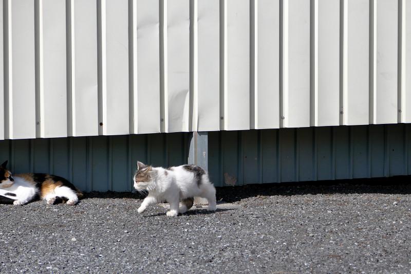 フェンスの向こうに逃げる白キジ猫1