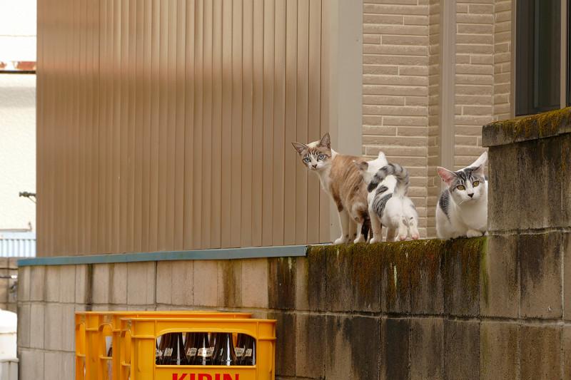 ブロック塀から移動開始の猫たち1