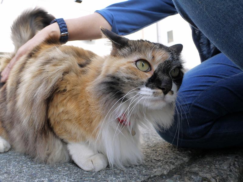 足元で触られる毛長の三毛猫2