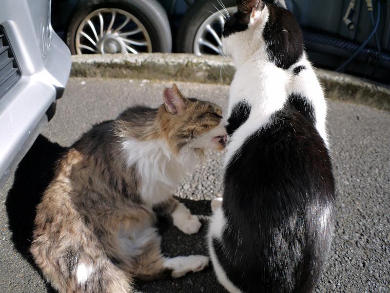 黒白猫の毛を舐める毛長のキジ白猫2