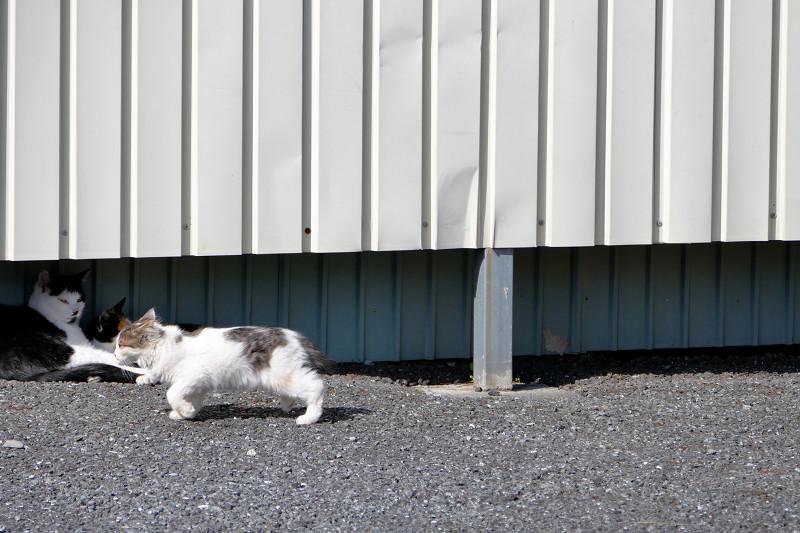 フェンスの向こうに逃げる白キジ猫2