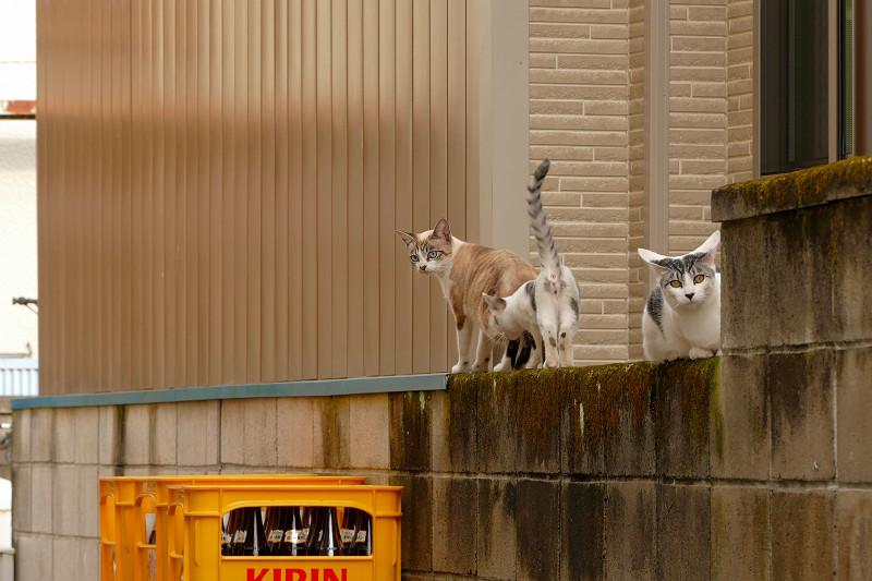 ブロック塀から移動開始の猫たち2