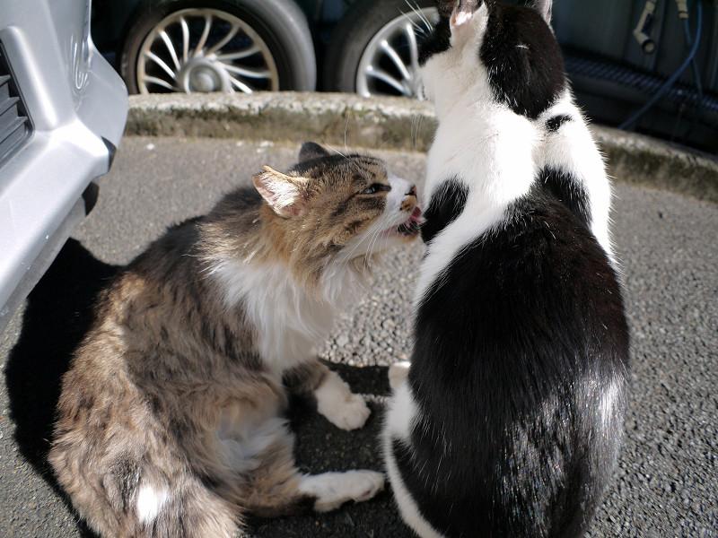 黒白猫の毛を舐める毛長のキジ白猫3