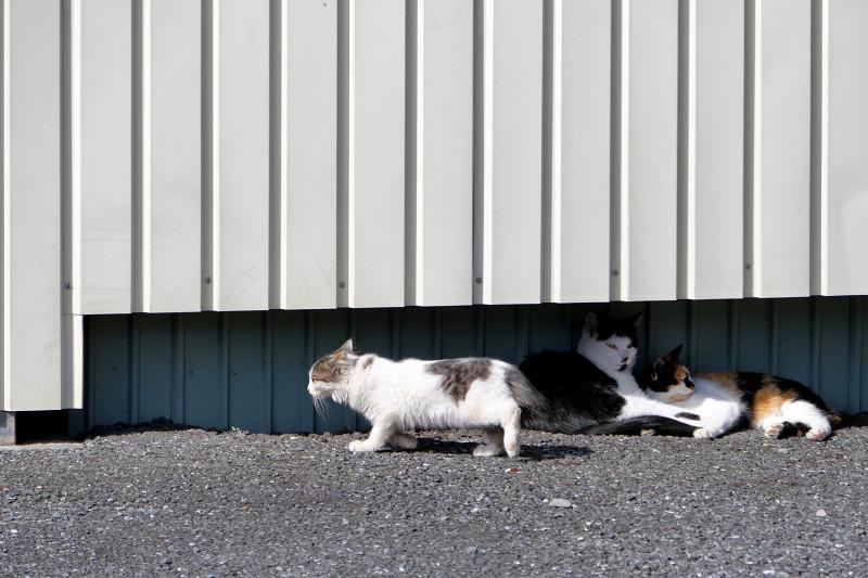 フェンスの向こうに逃げる白キジ猫3