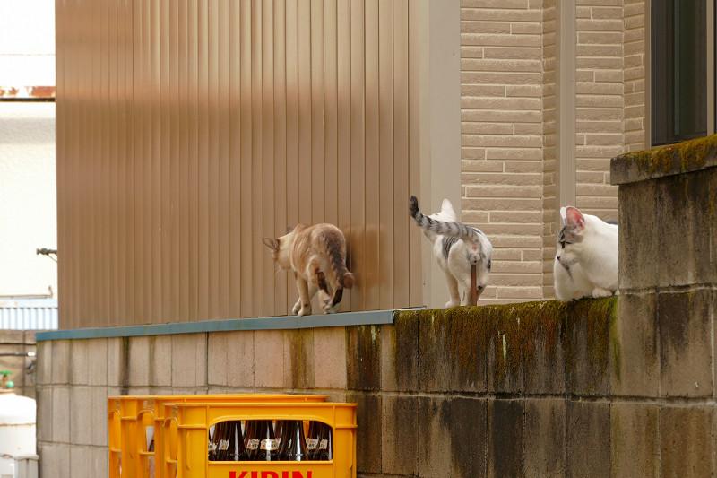 ブロック塀から移動開始の猫たち3