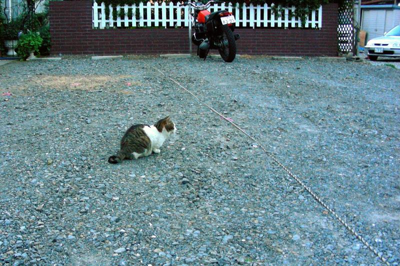 砂利駐車場のキジ白猫1