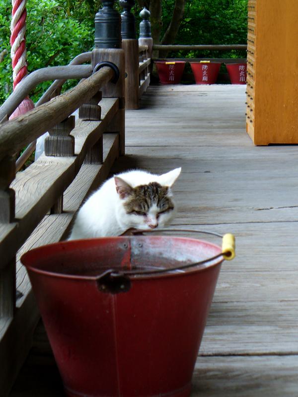 消火バケツと白キジ猫1