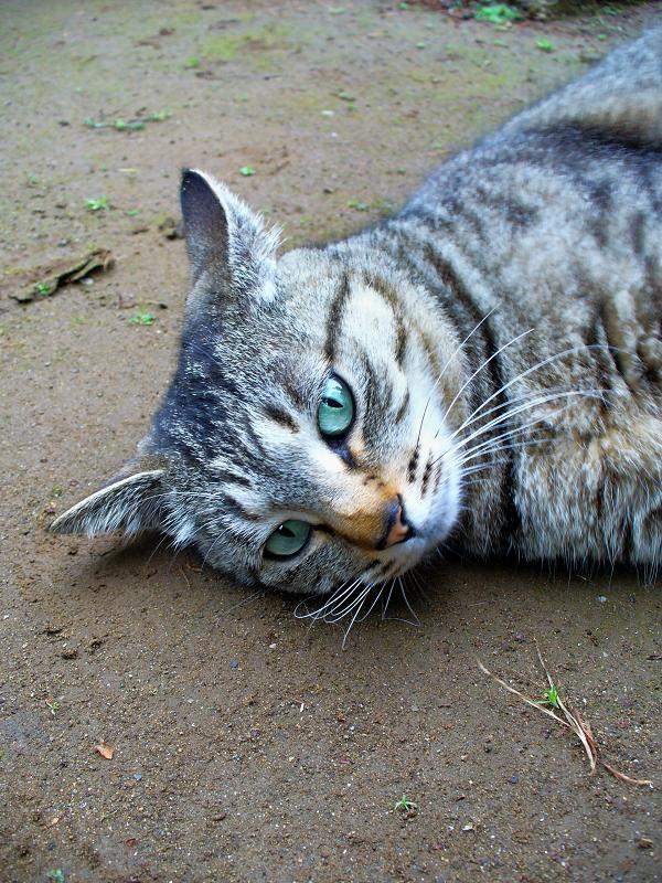 土の上で横になってるキジトラ猫1