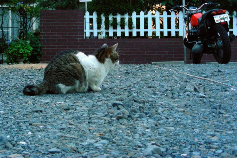 砂利駐車場のキジ白猫2