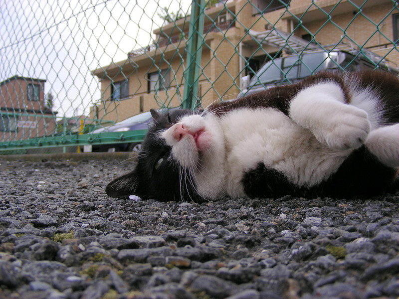 仰向けの黒白猫2