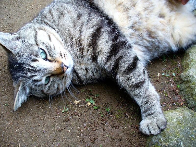土の上で横になってるキジトラ猫2