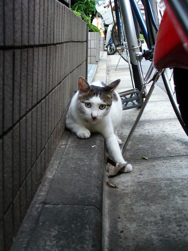 ブロックとスクーターの間の白キジ猫3