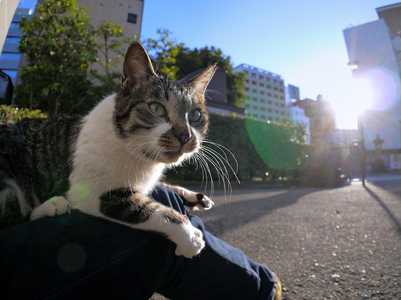 膝の上で動くキジ白猫1