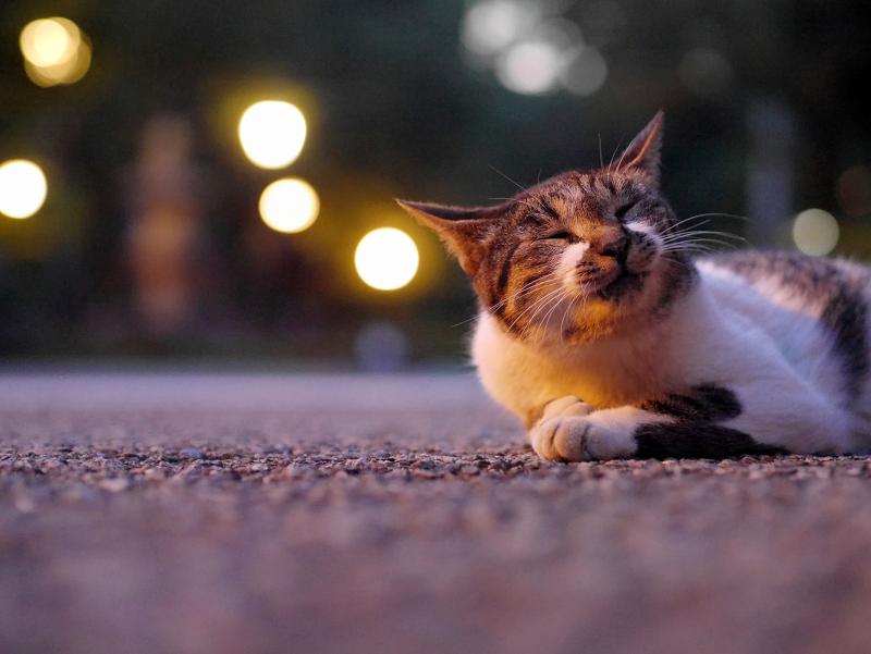 お寺の外灯とキジ白猫1