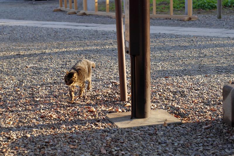 砂利道を歩くキジトラ猫1